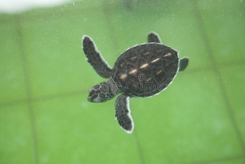海洋种类的海龟保护 免版税库存图片