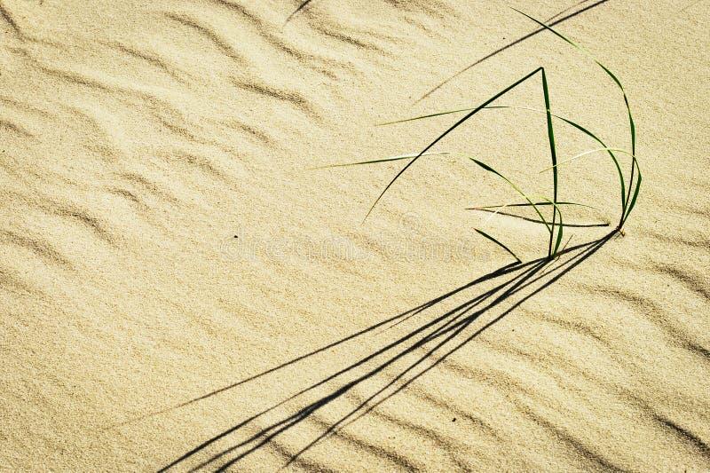 海滩草或沙子裸麦草生长在沙丘的Leymus arenarius群在波儿地克的海岸 免版税库存图片