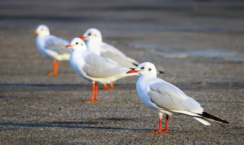 海Gul鸟 免版税库存照片