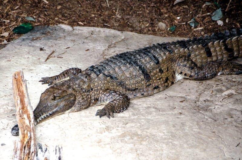 消化他的晚餐的哀伤的鳄鱼 免版税库存图片