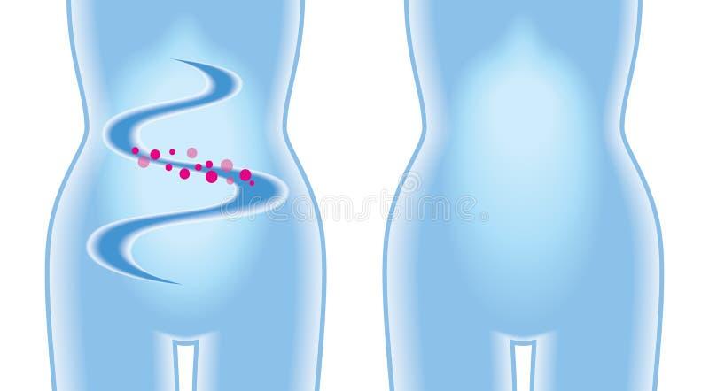 消化 机体s妇女 向量例证