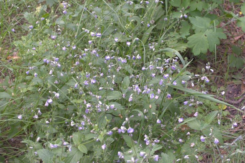 涌现的淡紫色风轮草persicifolia连续的丛林  图库摄影