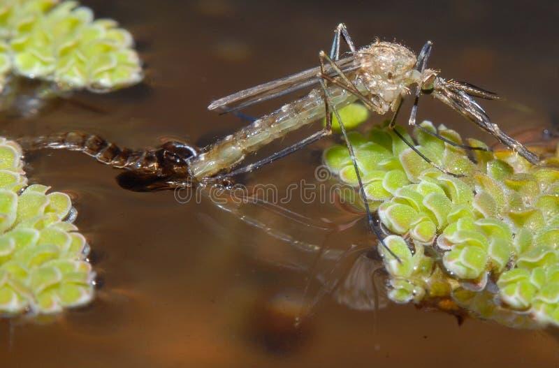 涌现的蚊子 图库摄影