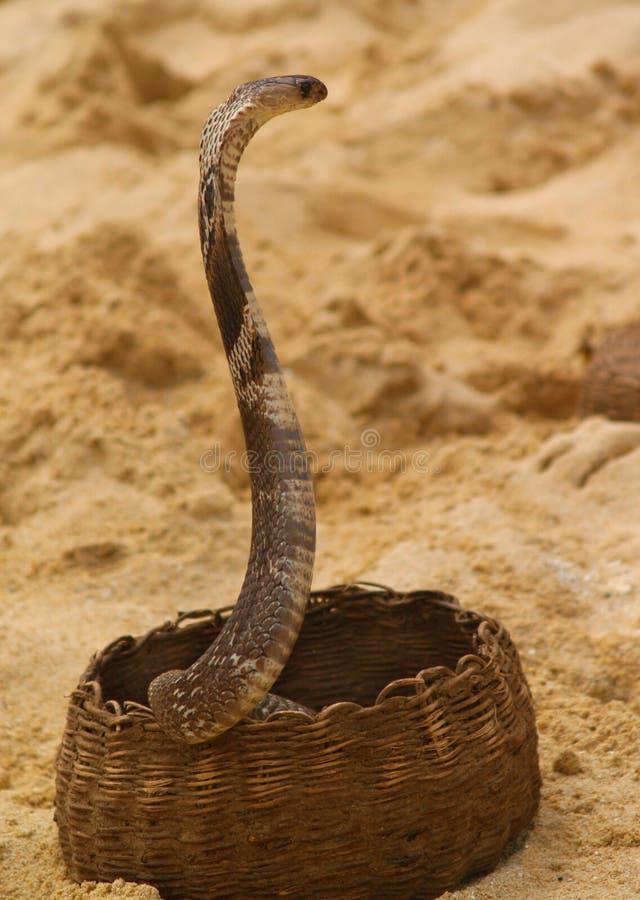 涌现篮子的眼镜蛇 免版税库存图片