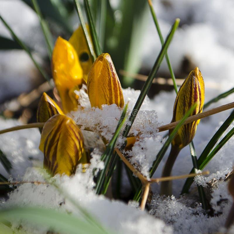 涌现通过新鲜的春天雪的复活节郁金香 免版税库存照片