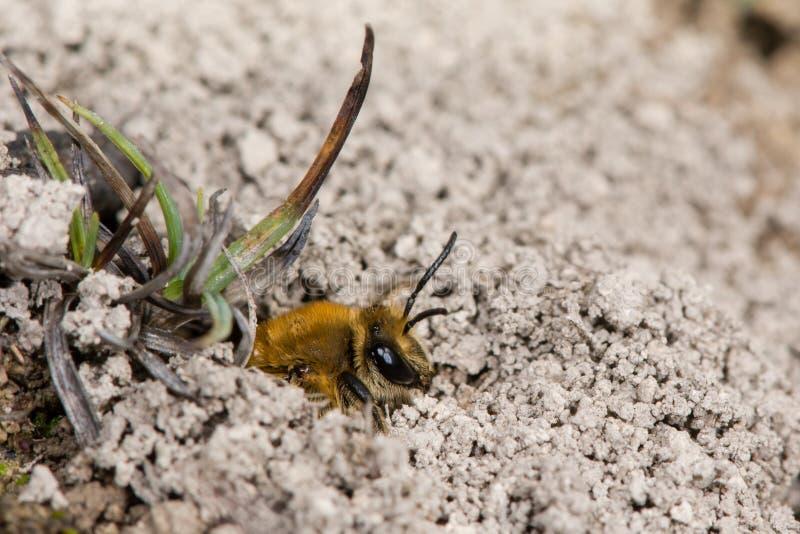 涌现从在土壤中的洞穴的常春藤蜂(Colletes hederae)在地面 免版税库存图片