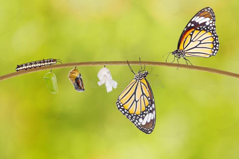 涌现从茧的共同的老虎蝴蝶的变革 免版税库存照片