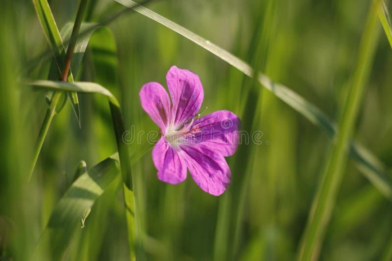 涌现从草的花 免版税库存图片