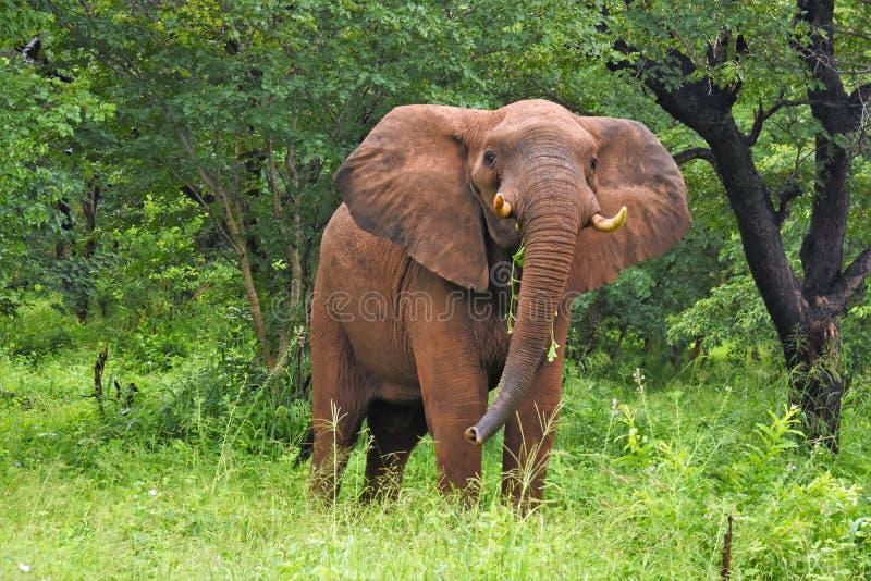 涌现从bruhs的大象 免版税库存照片
