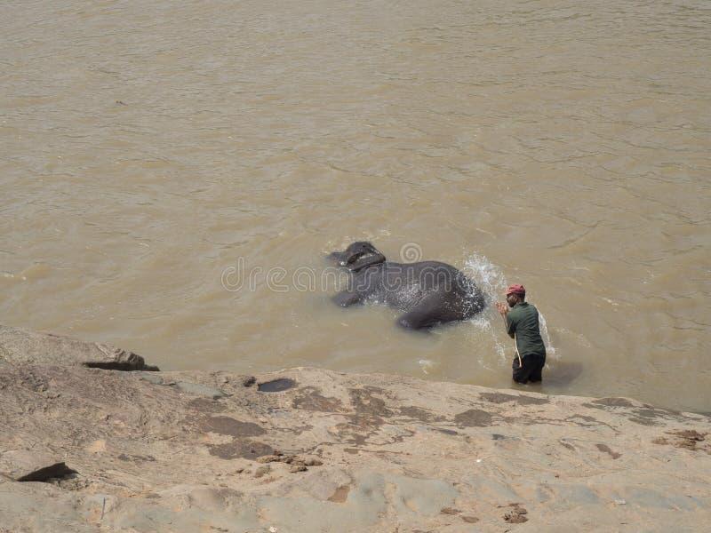 洗涤大象 库存照片
