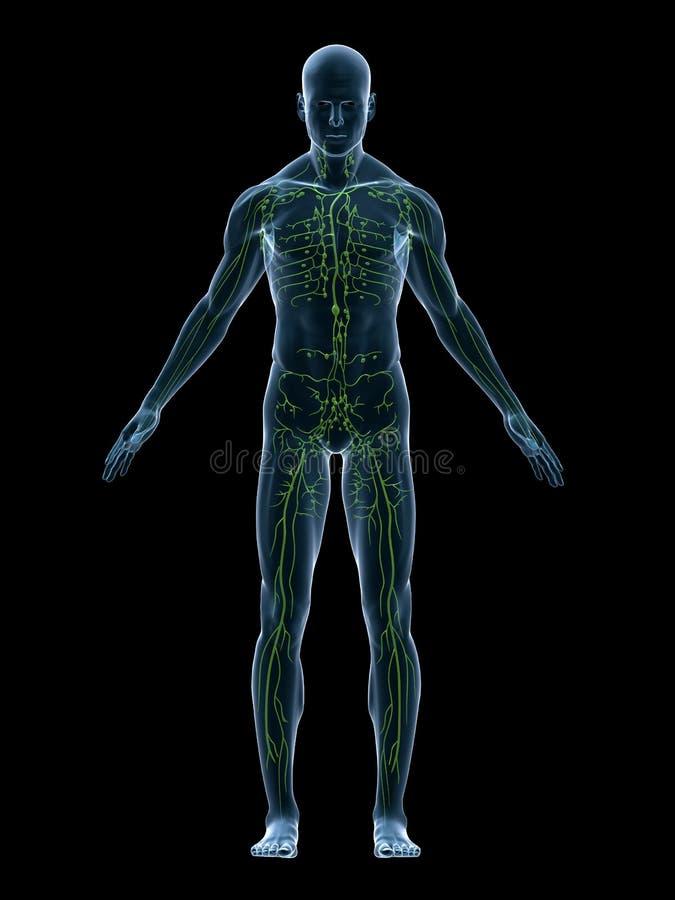 淋巴系统 向量例证