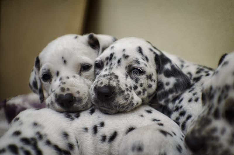 淘气达尔马希亚小狗睡眠 库存照片