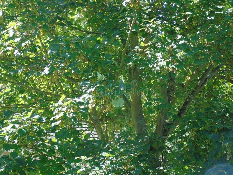 淡光在发光的风的闪耀的叶子 免版税库存图片