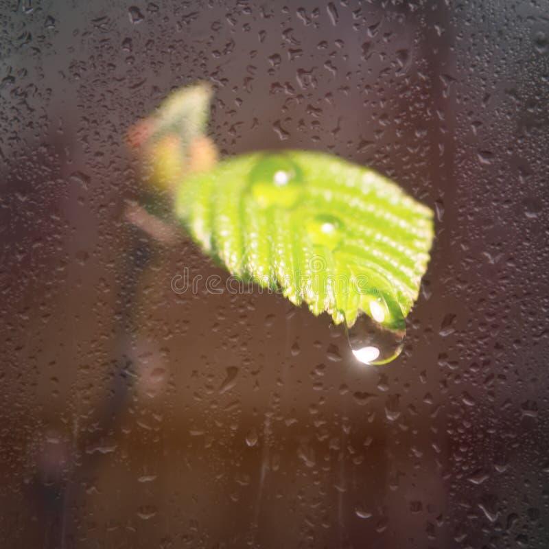 淡水下落在植物的生叶在黄色阳光下 宏观照片 植物的毒菌在玻璃后的 库存照片