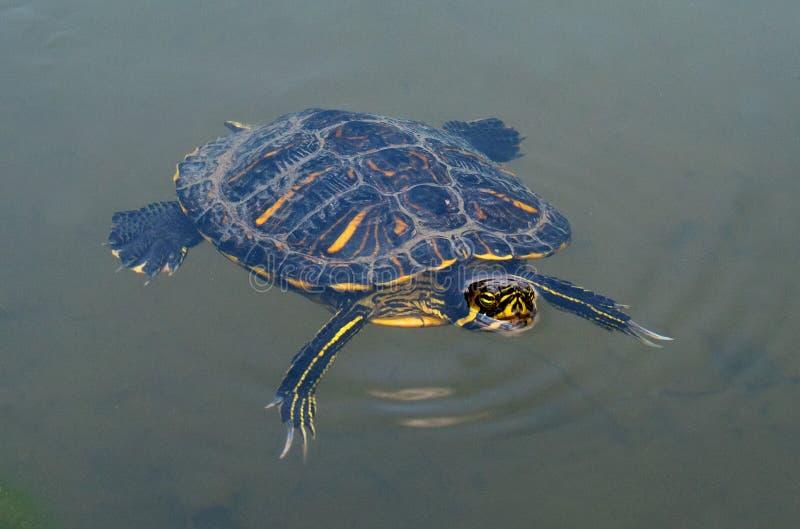 淡水乌龟在水中游泳 乌龟从水头上升了 水龟 库存图片