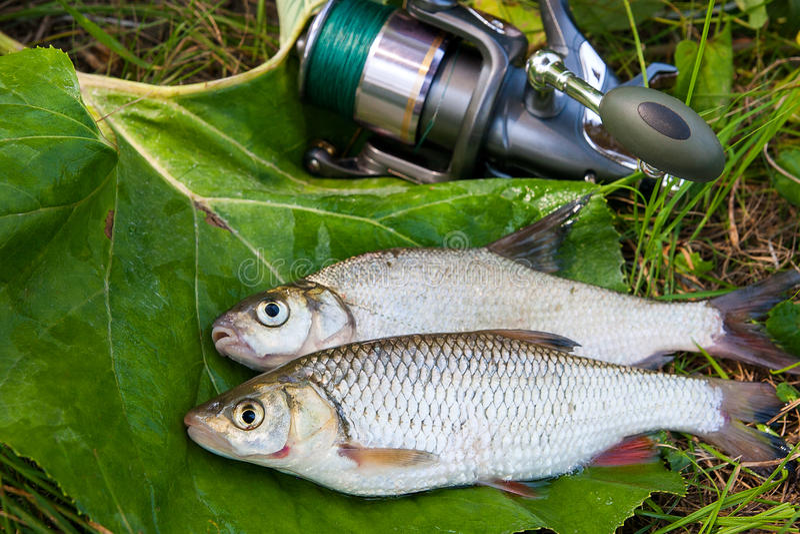 淡水共同的鲂和欧洲淡水鳔形鱼钓鱼与钓鱼竿 图库摄影