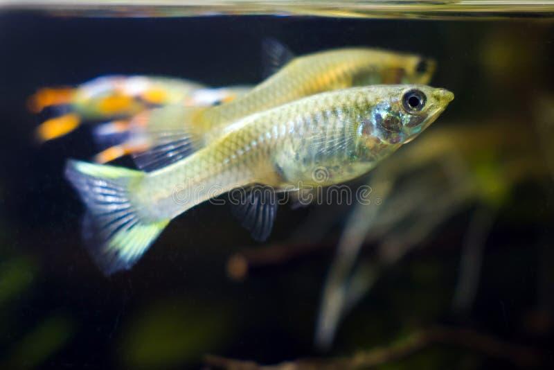 淡水水族馆矮小的鱼色彩艳丽的胎生小鱼endler,Poecilia wingei,黑暗的背景的少年女性 图库摄影