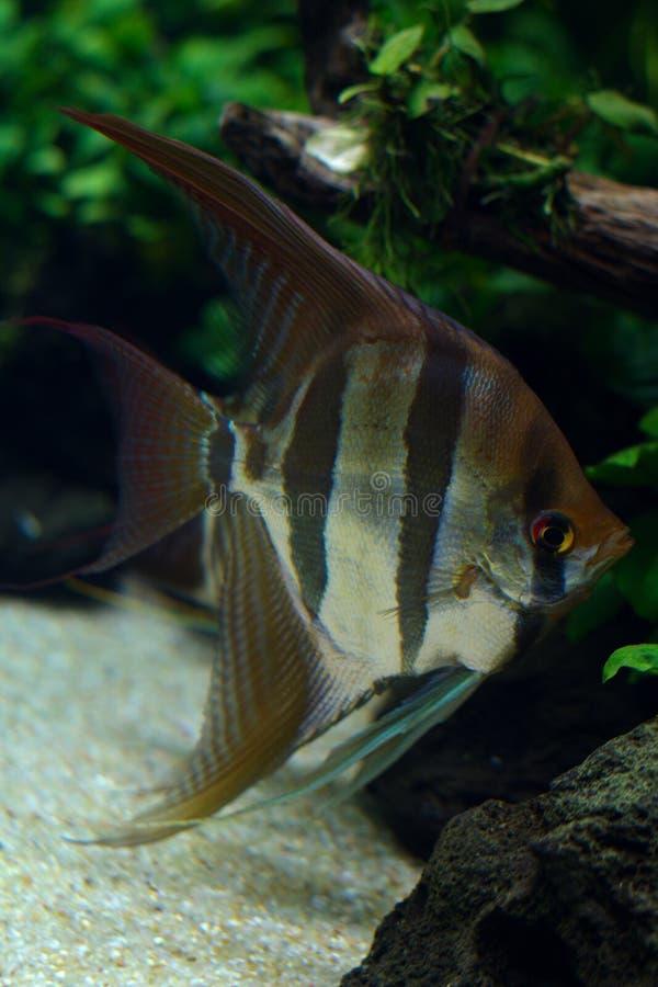 淡水神仙鱼agains自然水族馆fea特写镜头视图  库存照片