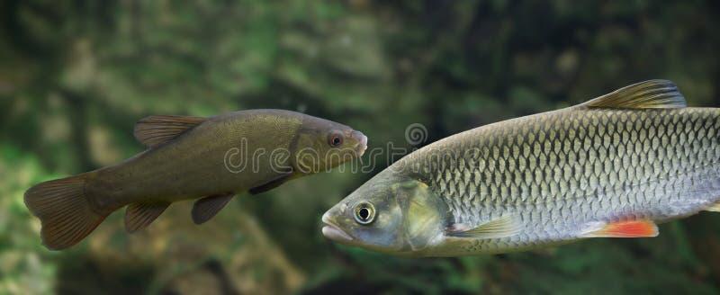 淡水鳔形鱼- Squalius cephalus和鲤属鱼-丁鲷丁鲷 库存图片