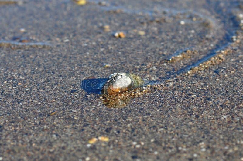 淡水鸟贝,水生双壳mulluscs unionoida 库存图片