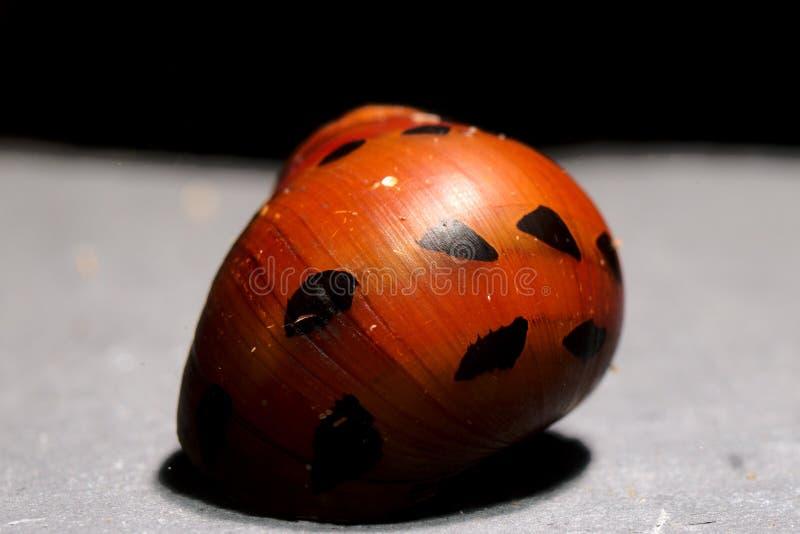 淡水Aquarim共同的名字红洋葱蜗牛水族馆蜗牛Neritina semiconica 免版税库存照片