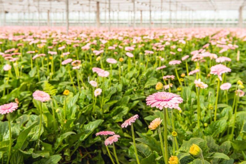 淡粉红的开花的大丁草开花与在glassh的黄色心脏 免版税库存照片