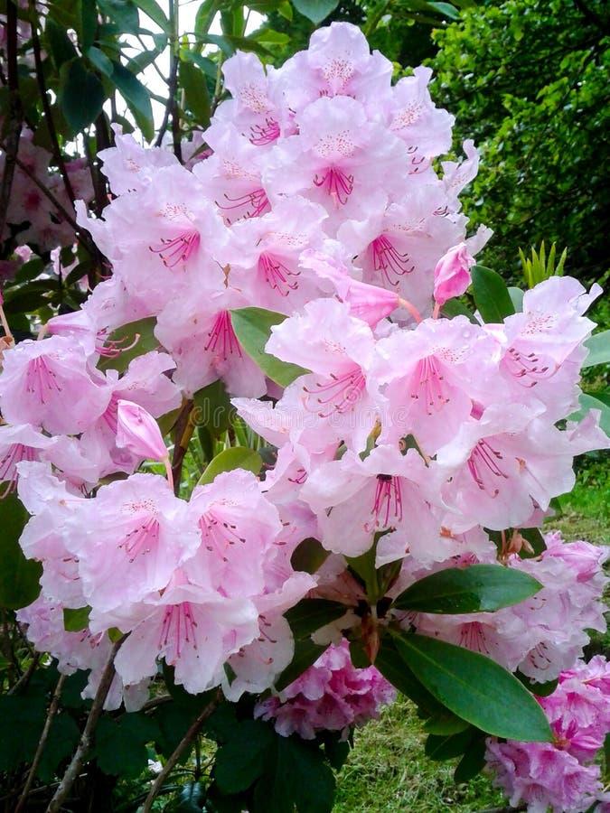 淡粉红的杜鹃花花 免版税库存照片