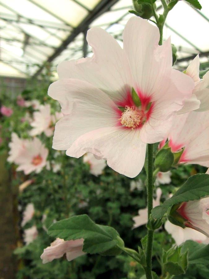 淡粉红的蜀葵 库存图片