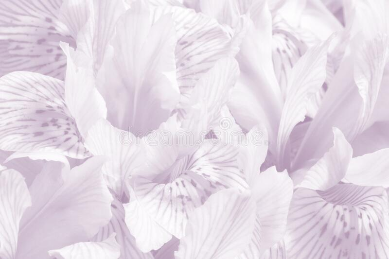 淡紫丁香春花宏背景 柔和柔和的鸢尾花浪漫背景 免版税库存照片