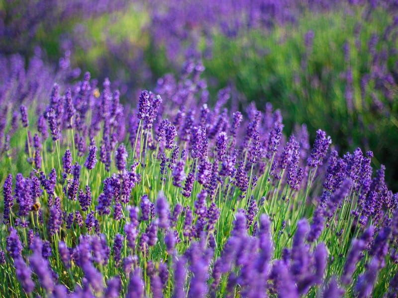 淡紫色丛生在日落的特写镜头 在淡紫色紫色花的日落微光  库存图片