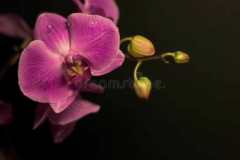 淡紫色兰花 库存图片