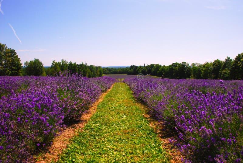 淡紫色农场 库存图片