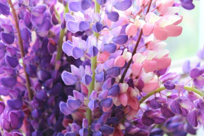 淡紫色和桃红色羽扇豆特写镜头花束  免版税库存图片