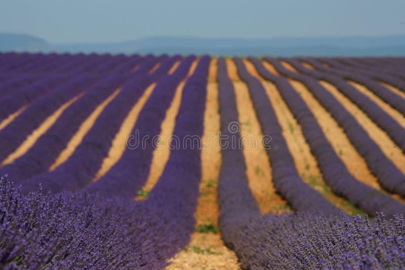 淡紫色和lavandin领域在Provance 免版税库存图片
