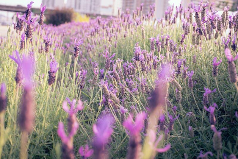 淡紫色在公园 库存图片