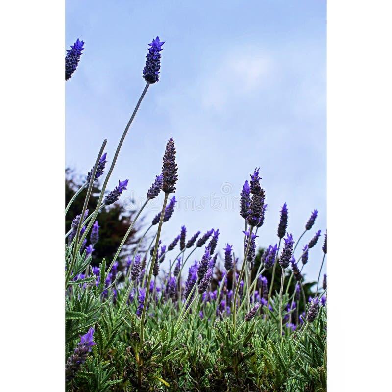 淡紫色在新西兰 图库摄影