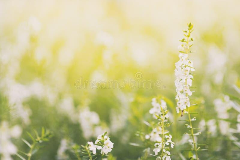 淡紫色开花开花 白色淡紫色花的领域 淡紫色花在背景的早晨日出软的焦点 免版税库存图片