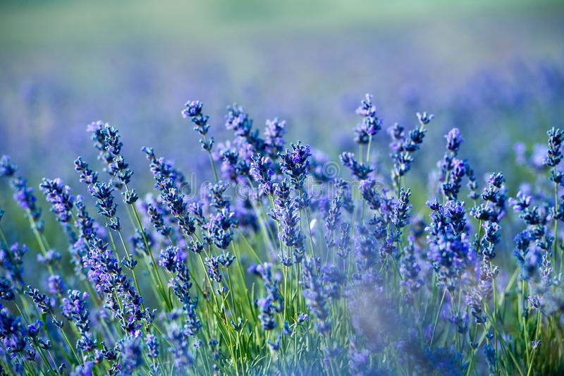 淡紫色开花-在夏天紫色淡紫色领域的日落 免版税图库摄影