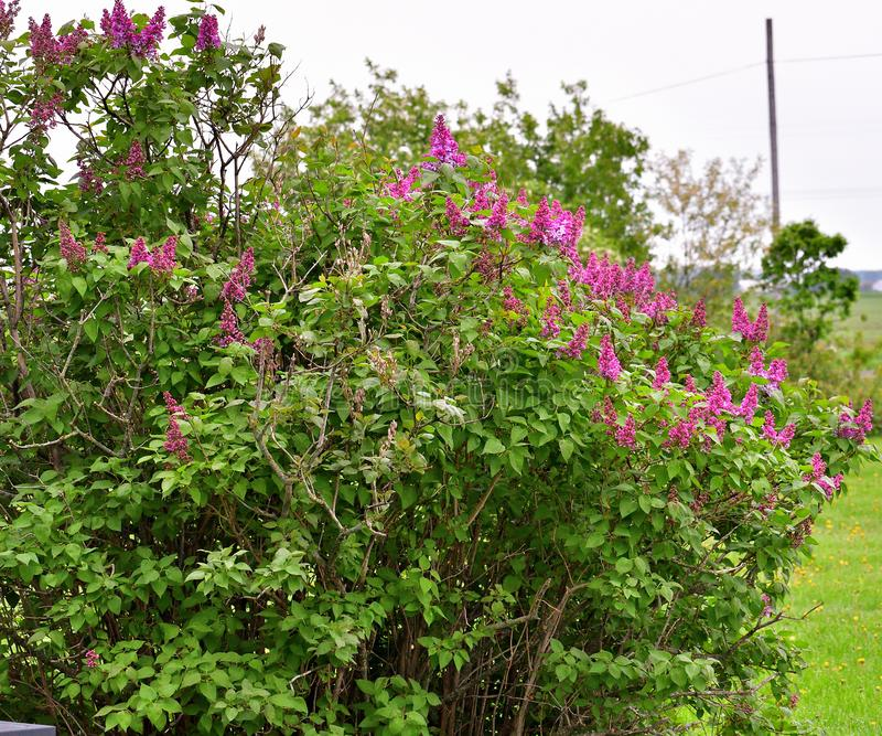 淡紫色灌木在春天 免版税库存图片