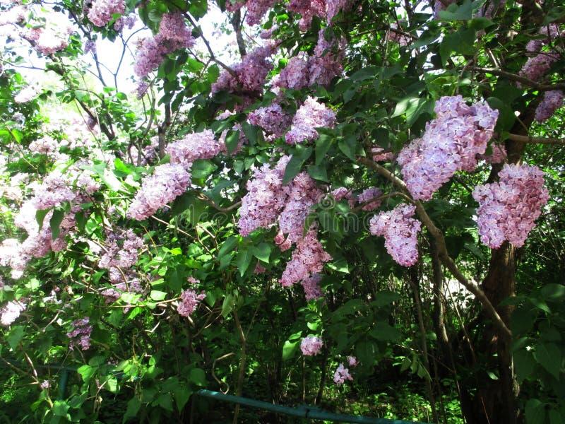 淡紫色灌木庭院与石工和一条绿色长凳的 库存图片