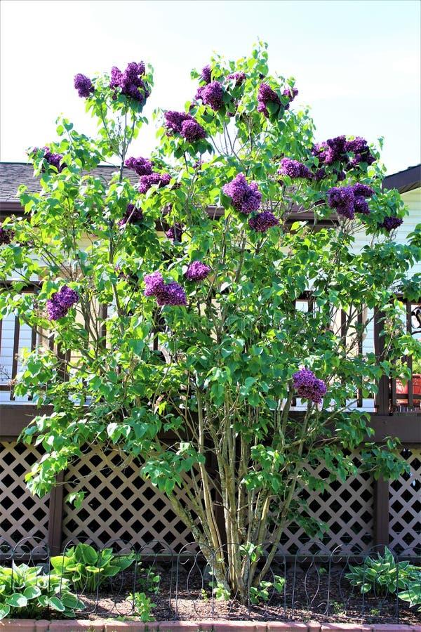 淡紫色灌木,寻常的紫丁香属植物,开了花与充满活力的花 免版税图库摄影