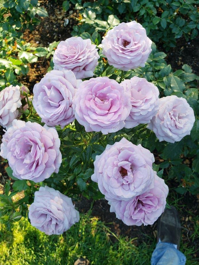 淡紫色玫瑰 免版税库存图片