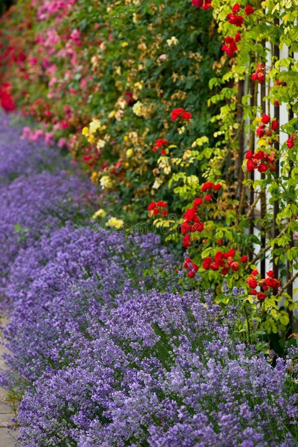 淡紫色玫瑰 库存图片