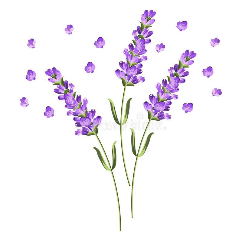淡紫色的传染媒介开花的枝杈与花的 库存图片
