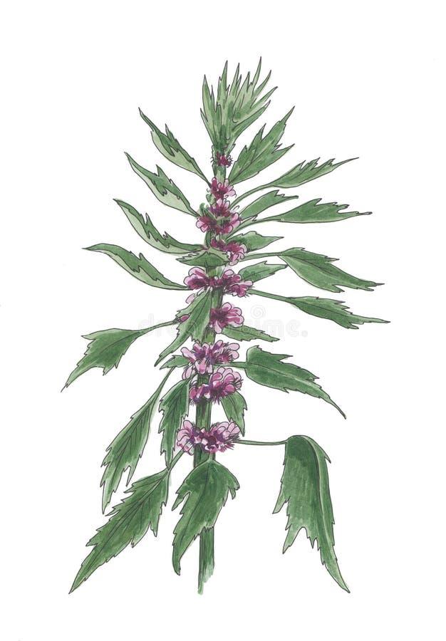 淡紫色益母草的水彩植物的例证 库存例证