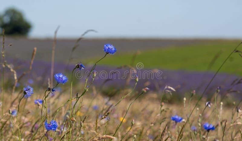 淡紫色看法在Cotswolds的英国一个花农场调遣 生长在前景的野花 库存图片