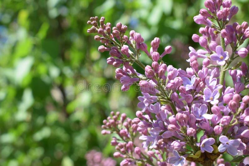 淡紫色紫色 美妙9心情多彩多姿的照片被设置的春天的郁金香 早晨秀丽 库存照片