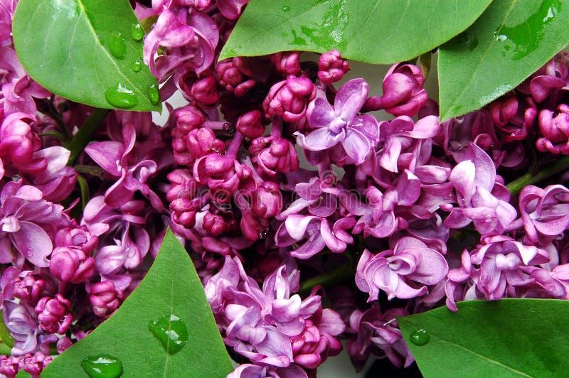 淡紫色紫色 免版税库存照片