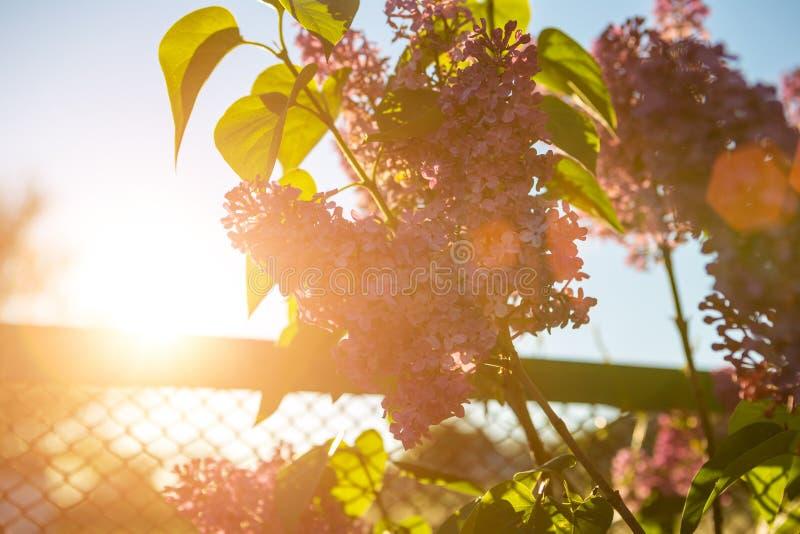 淡紫色绽放在春天在阳光下 库存图片