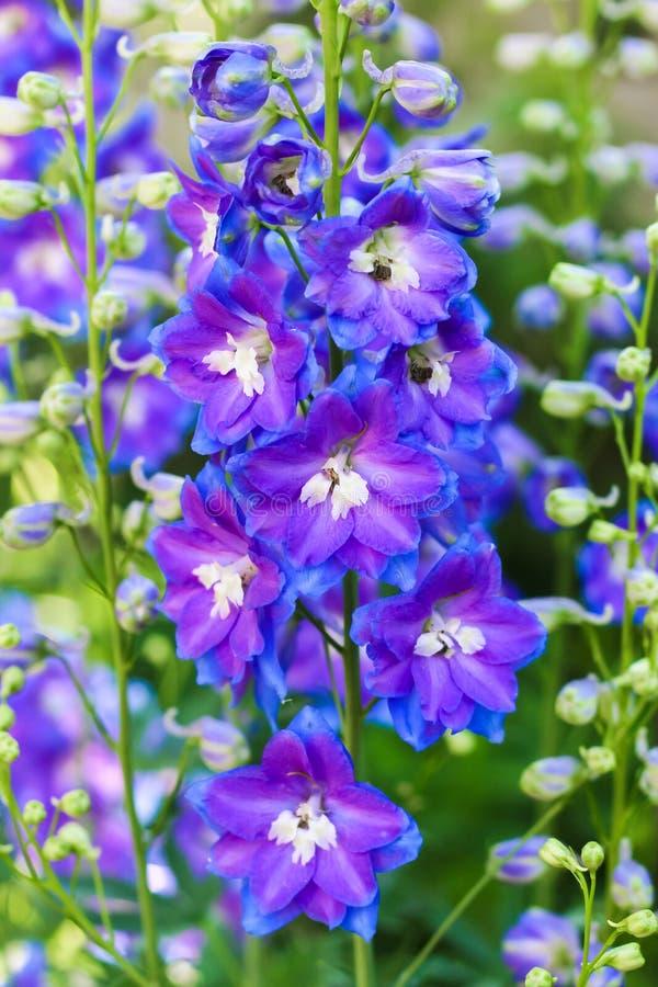 淡紫色翠雀花关闭 免版税图库摄影